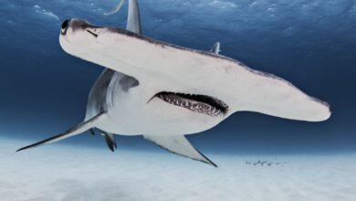 10 animaux plus susceptibles de vous tuer que les requins