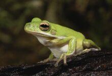 10 faits intéressants sur les grenouilles arboricoles vertes américaines
