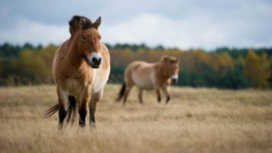 10 faits sur les chevaux de Przewalski