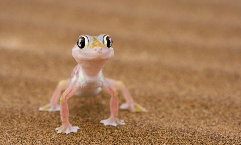12 faits surprenants sur les Geckos