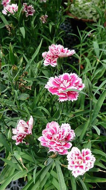 Dianthus chinensis. Nom commun : China Pink. (Mokkie/CC BY SA 3.0) Ces types de fleurs étaient avec le cerveau trouvé au bord du lac Michigan.