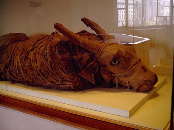 Taureau momifié au Musée national d'histoire naturelle.