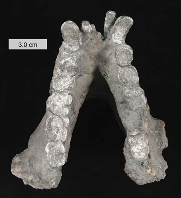 Mandibule inférieure du Gigantopithecus blacki (plâtre). Dans les collections du College of Wooster, Ohio.