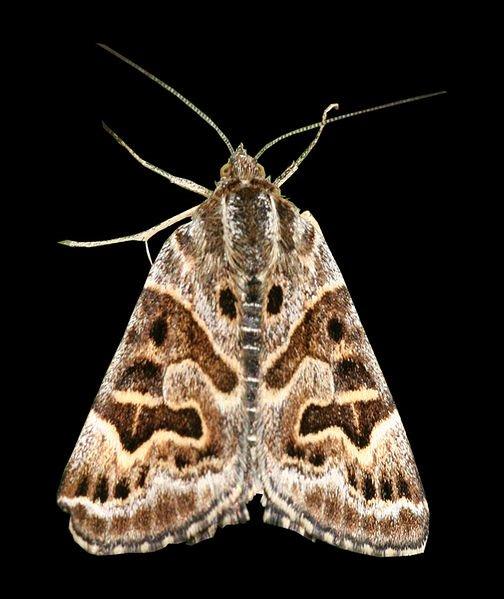 Mère Shipton, papillon de nuit.
