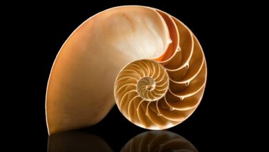 The golden ratio in a shell