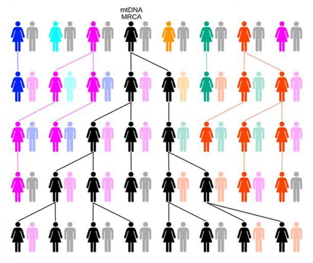 Par dérive ou sélection aléatoire, la lignée féminine remontera jusqu'à une seule femelle, comme l'Eve mitochondriale. Dans cet exemple, sur cinq générations, les couleurs représentent les lignées matrilinéaires éteintes et le noir la lignée matrilinéaire descendant de l'ADN mitochondrial MRCA. (ChrisTi / CC BY-SA 3.0)