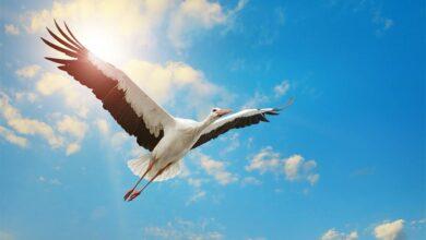The stork has been a bird of legends through the centuries.Source: Serghei Velusceac / Adobe Stock