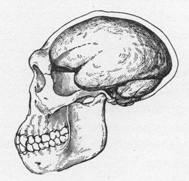Reconstruction d'un crâne de Java Man en 1922. Le crâne et le cerveau de Pithecanthropus, l'homme-singe de Java, tel que restauré par J. H. McGregor à partir des quelques restes. La restauration montre le front bas et en retrait et les crêtes de sourcils proéminentes. (Domaine public)