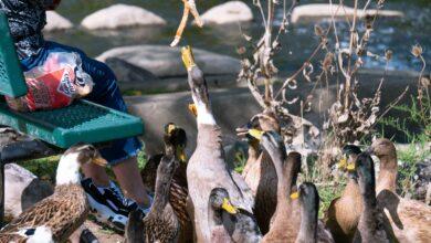3 raisons de ne pas donner de pain aux canards