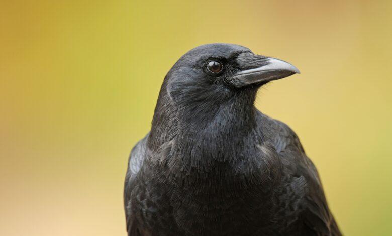 8 Faits étonnants sur les corbeaux