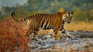 8 Faits étonnants sur les tigres du Bengale
