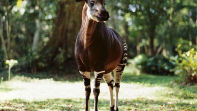 8 Faits extraordinaires sur l'okapi