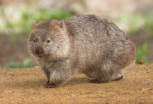 8 choses que vous ne saviez pas sur les wombats