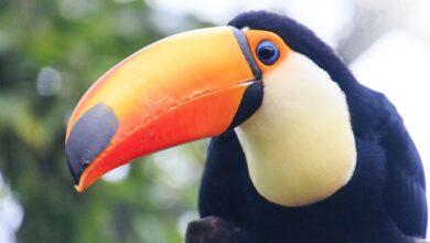 9 Faits fascinants sur les toucans