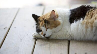 Aidez votre chat à vaincre la chaleur
