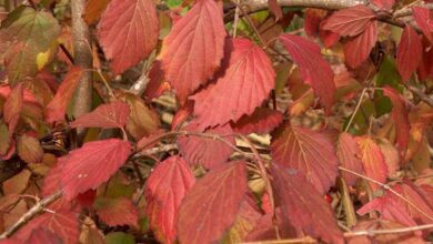 Arrowwood Viburnum Shrubs : Cultiver une étoile de couleur automnale