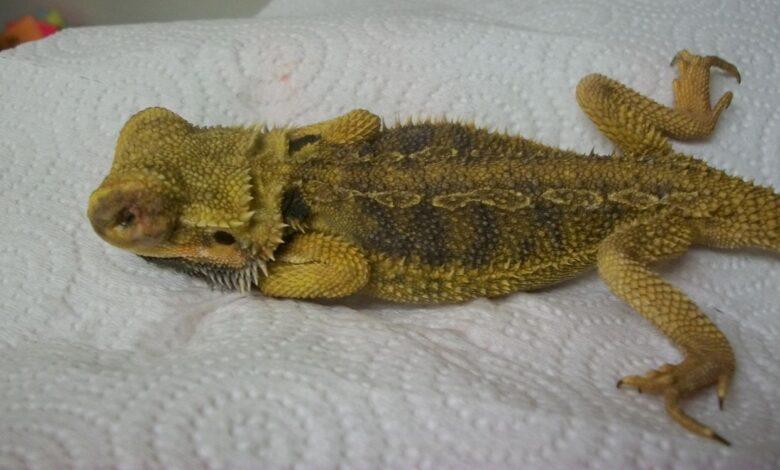 Atadenovirus (Adénovirus) chez les dragons barbus