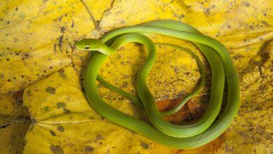 Ce serpent est-il venimeux ?