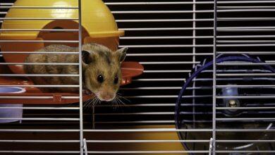 Choisir la meilleure cage pour votre hamster syrien
