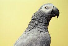 Choisir un oiseau qui parle