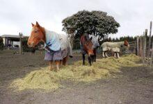 Combien de foin pour nourrir un cheval