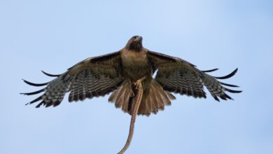 Combien de poids peut porter un faucon ?