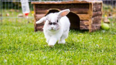 Combien de temps vivent les lapins de compagnie ?