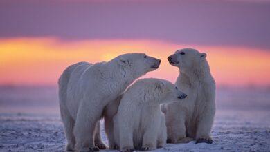 Combien y a-t-il d'ours polaires ?