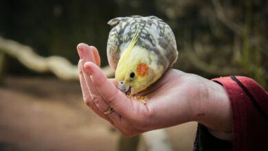 Comment aider votre oiseau à prendre du poids
