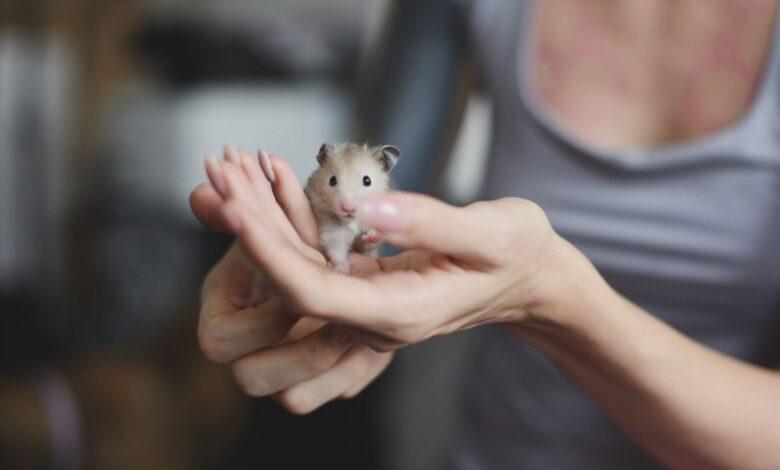 Comment choisir un hamster sain