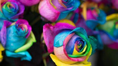 Comment créer des roses arc-en-ciel