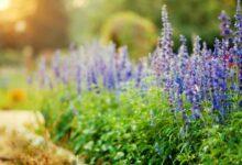 Comment cultiver et prendre soin de la salvia bleue de Victoria