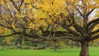 Comment cultiver et prendre soin des arbres Katsura