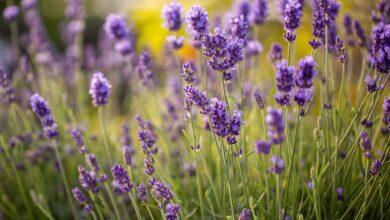 Comment cultiver et prendre soin des plants de lavande anglaise