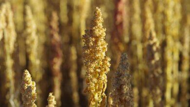 Photo de Comment cultiver le quinoa chez soi