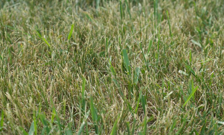 Comment débarrasser votre pelouse de l'herbe à crabe