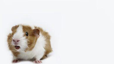 Comment déchiffrer les sons et le langage corporel du cochon d'Inde