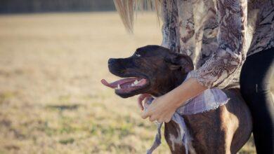 Comment dresser votre chien de pitbull pour en faire un bon animal de compagnie