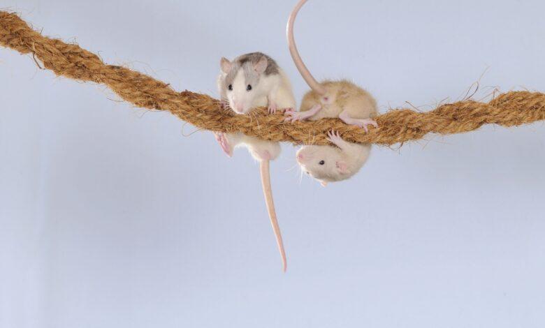Comment fabriquer des jouets pour les rats de compagnie
