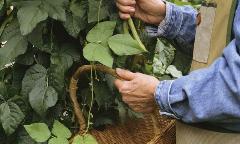 Comment faire pousser une récolte de haricots à l'automne