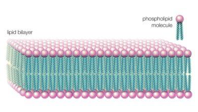 Comment les phospholipides aident à maintenir une cellule en place
