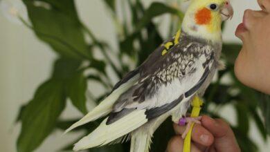 Comment puis-je apprendre à mon oiseau son nom ?