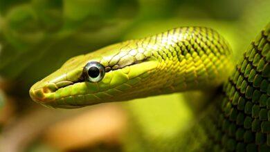 Comment soigner les capuchons des yeux des serpents muets