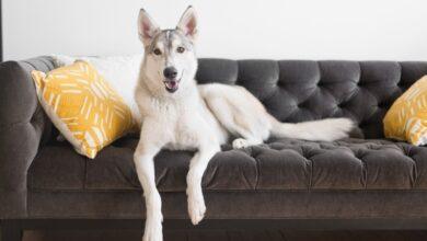 Comment traiter la dysplasie du coude chez le chien