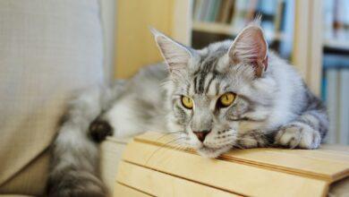 Comment traiter la pancréatite chez les chats