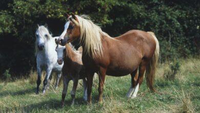 Comment traiter la panse de foin chez les chevaux