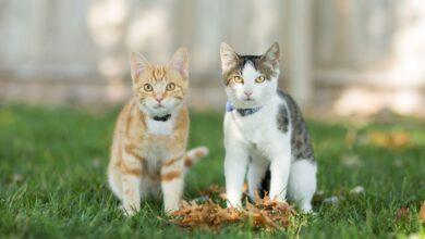 Comment traiter la teigne chez les chats