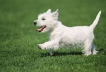 Comment traiter l'ataxie chez les chiens