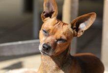 Comment traiter le cancer de la peau chez les chiens