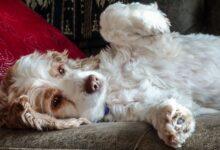 Comment traiter les ballonnements chez les chiens
